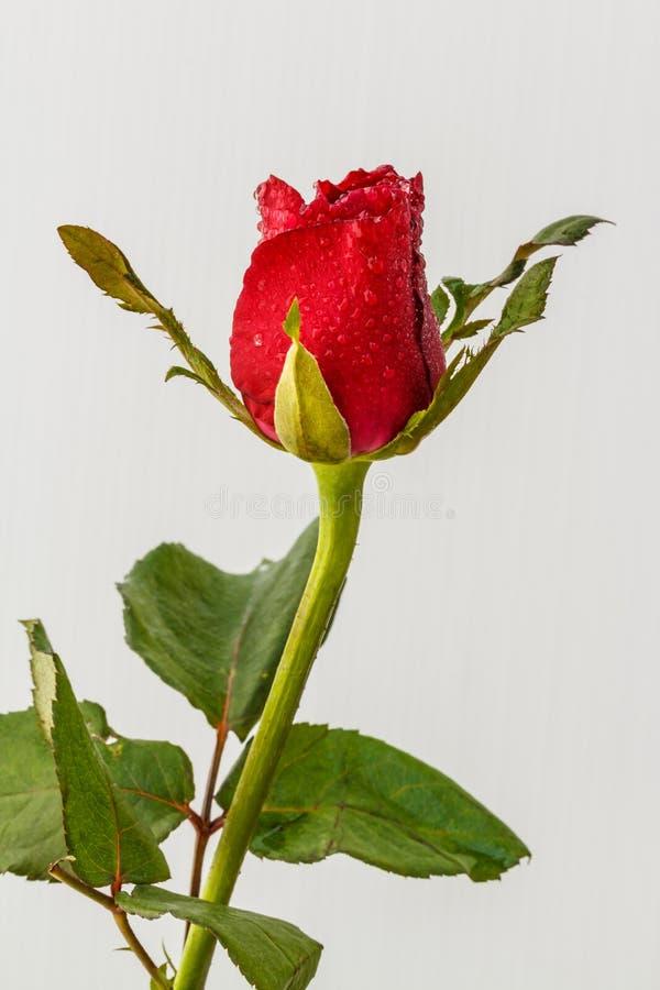 Flores Hermosas De Las Rosas Rojas Foto de archivo Imagen de