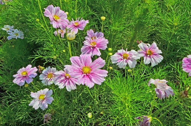Flores hermosas de los cosmaos con las hojas verdes imágenes de archivo libres de regalías