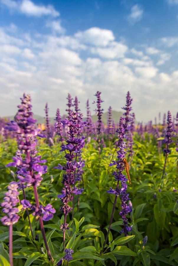 Flores hermosas de Salvia fotografía de archivo