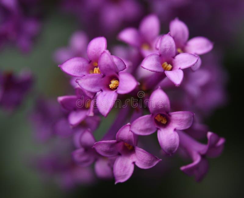 Flores hermosas de una lila fotos de archivo libres de regalías