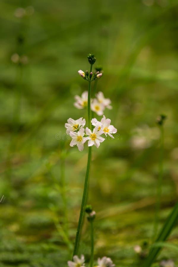 Flores hermosas del bach de la violeta de agua blanca que florecen en la charca del bosque fotos de archivo libres de regalías