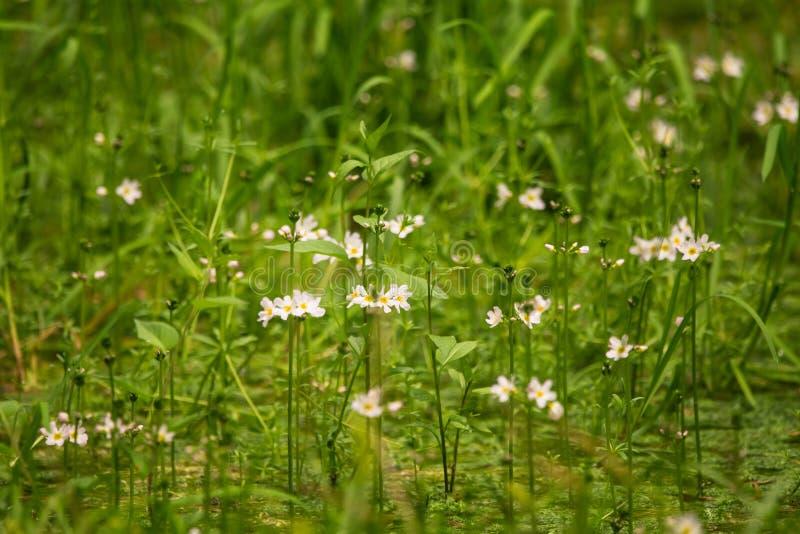 Flores hermosas del bach de la violeta de agua blanca que florecen en la charca del bosque imagenes de archivo