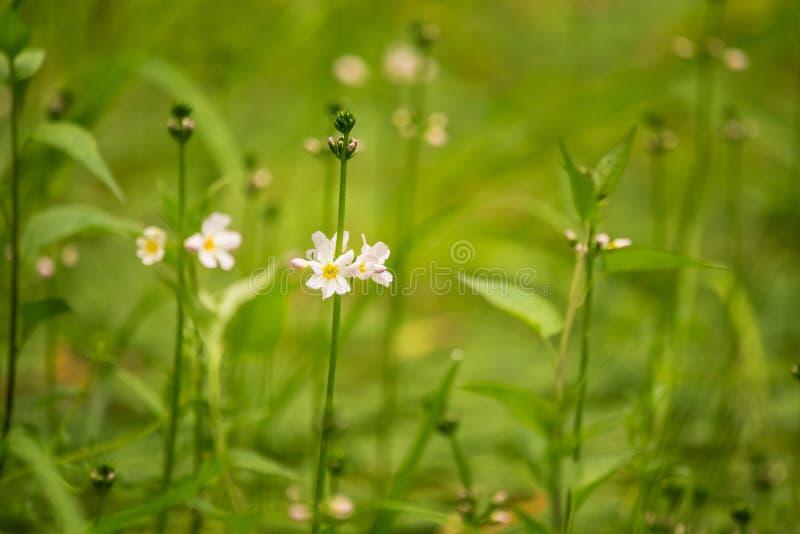 Flores hermosas del bach de la violeta de agua blanca que florecen en la charca del bosque imágenes de archivo libres de regalías