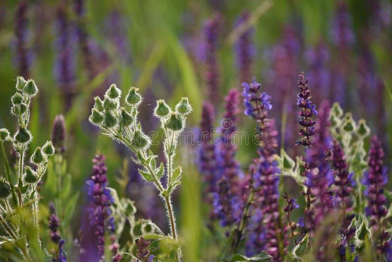 Flores hermosas del campo en el prado Sabio floreciente fotografía de archivo libre de regalías