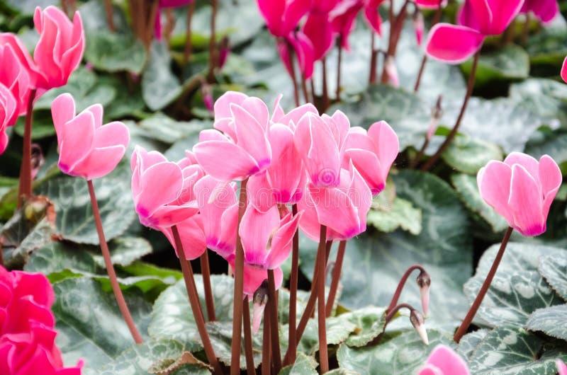 Flores hermosas del ciclamen imagenes de archivo
