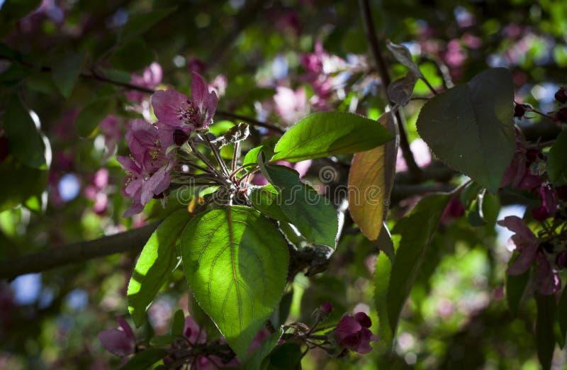 Flores hermosas del cierre rosado de la cereza para arriba fotografía de archivo