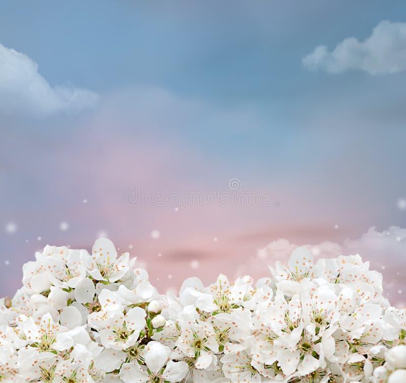 Flores hermosas del ciruelo debajo del cielo azul fotografía de archivo