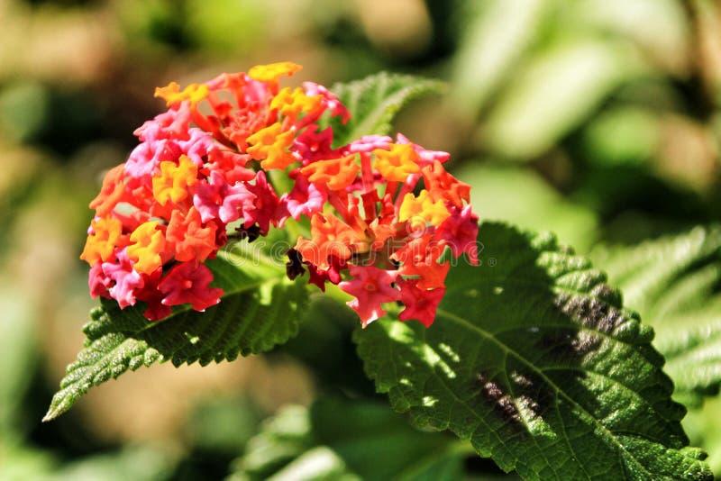 Flores hermosas del Lantana en el jardín imagen de archivo