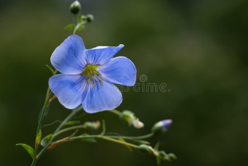 Flores hermosas del lino fotografía de archivo