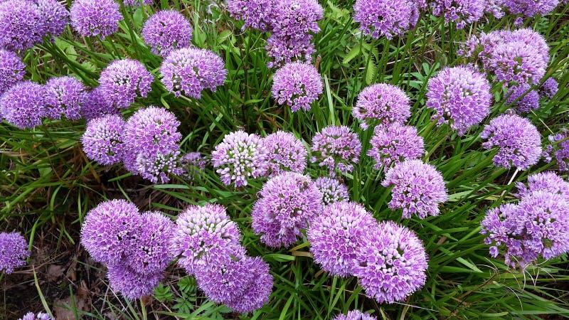 Flores hermosas del milenio del allium en el jardín foto de archivo