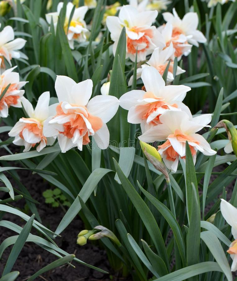 Flores hermosas del narciso imagenes de archivo