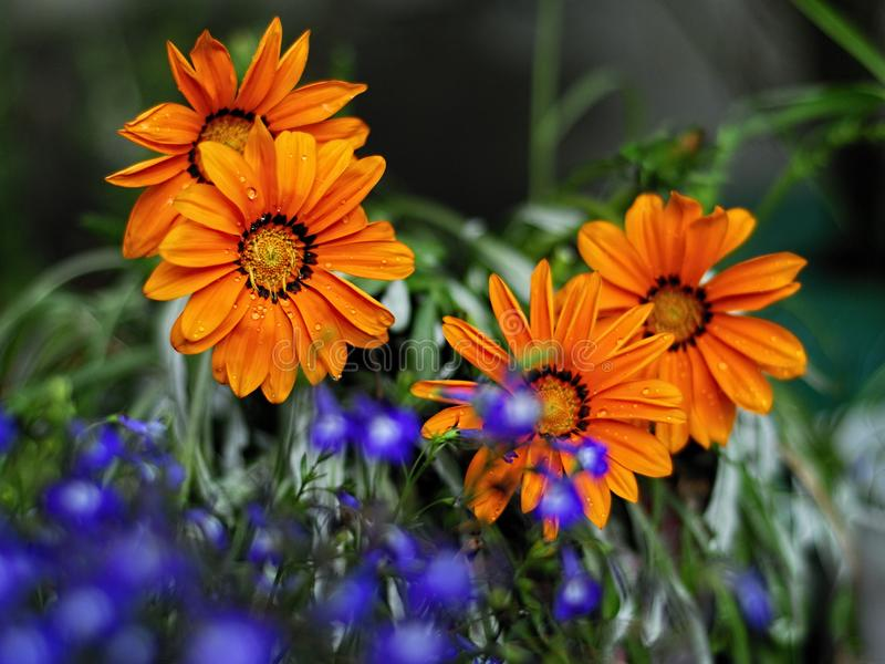 Download Flores hermosas del orang imagen de archivo. Imagen de floración - 100534257
