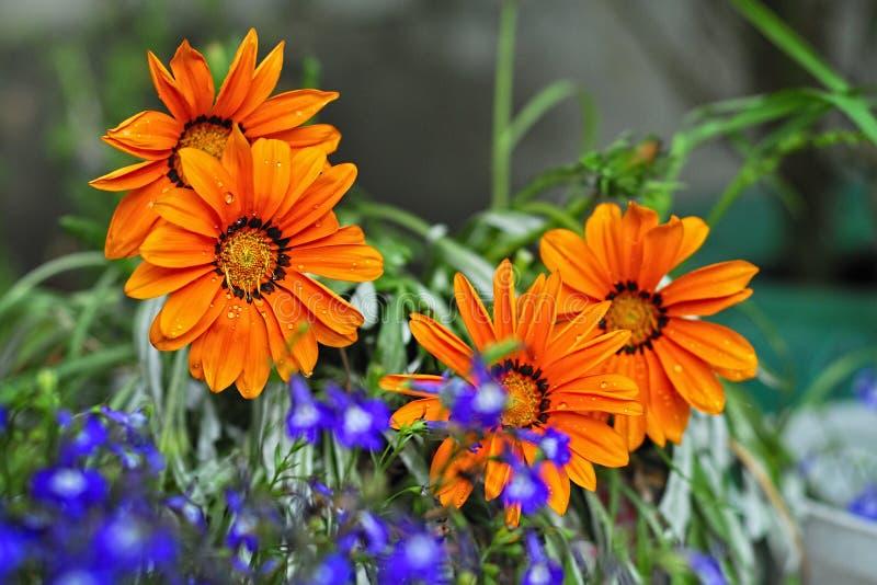 Download Flores hermosas del orang imagen de archivo. Imagen de flor - 100534387