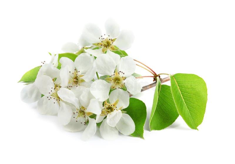 Flores hermosas del ?rbol floreciente de la primavera en blanco foto de archivo