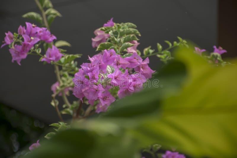 Flores hermosas n de la buganvilla del rosa mi oficina fotos de archivo libres de regalías