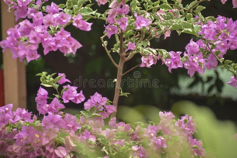 Flores hermosas n de la buganvilla del rosa mi oficina foto de archivo libre de regalías