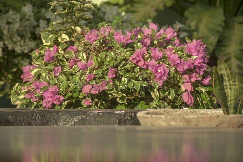 Flores hermosas n de la buganvilla del rosa mi oficina imagen de archivo libre de regalías