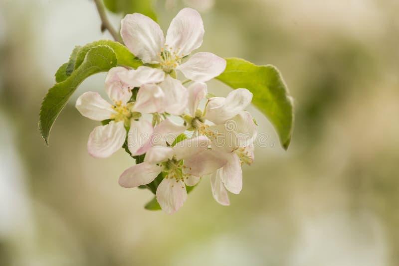 Flores hermosos, blancos del manzano que florecen en un día soleado fotos de archivo