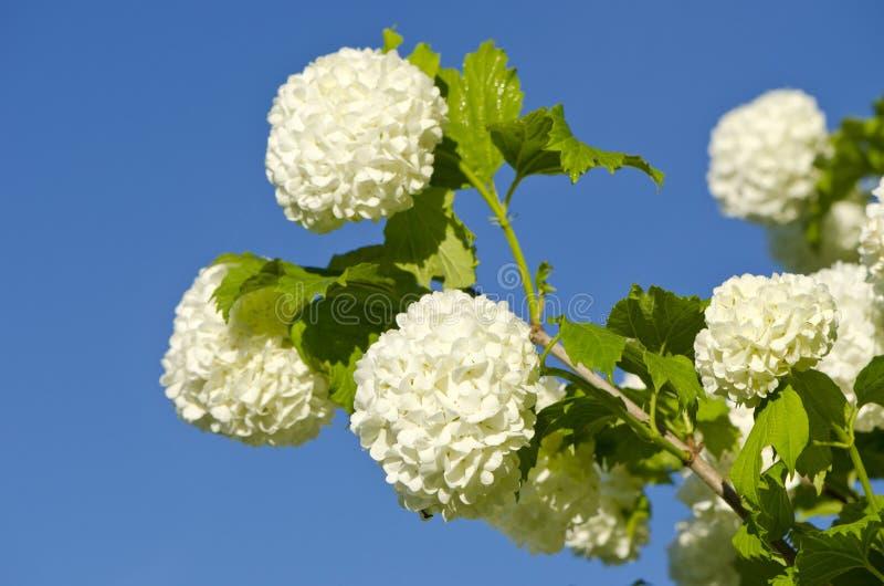 Flores hermosos del árbol de Guelder Rose Snowball del viburnum (opulus del Viburnum) fotos de archivo