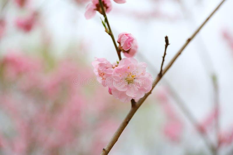 Flores hermosos del melocotón en primavera fotos de archivo libres de regalías