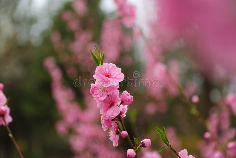 Flores hermosos del melocotón en primavera imagen de archivo libre de regalías