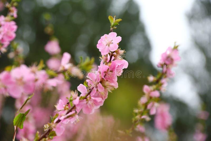 Flores hermosos del melocotón en primavera foto de archivo libre de regalías