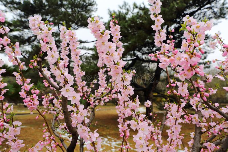 Flores hermosos del melocotón en primavera fotografía de archivo libre de regalías