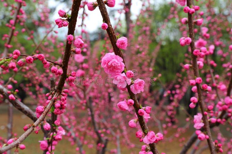 Flores hermosos del melocotón en primavera imagen de archivo