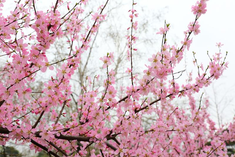 Flores hermosos del melocotón en primavera imagenes de archivo