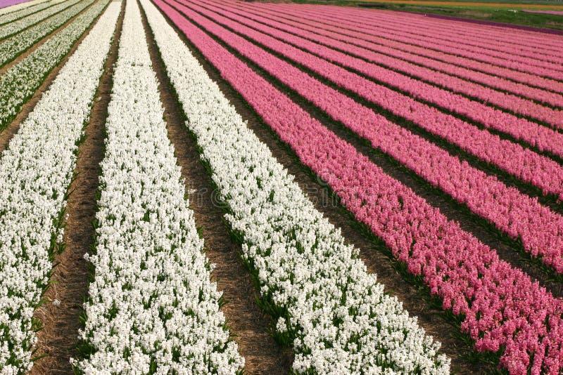 Flores holandesas fotografia de stock royalty free