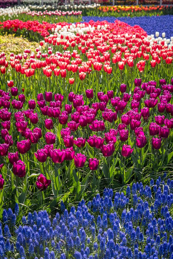 Flores holandesas bonitas fotografia de stock