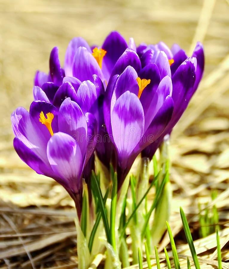 Flores holandesas del azafrán del resorte foto de archivo libre de regalías