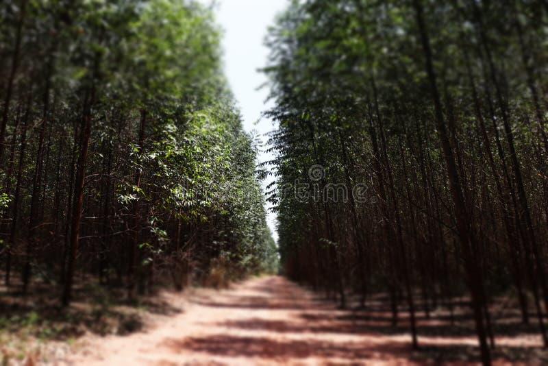 Flores incantato dell'eucalyptus fotografia stock libera da diritti