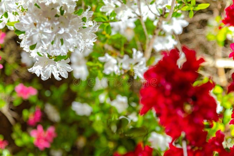 Flores indianas coloridas bonitas do simsii do rododendro das azáleas da flor completa fotos de stock