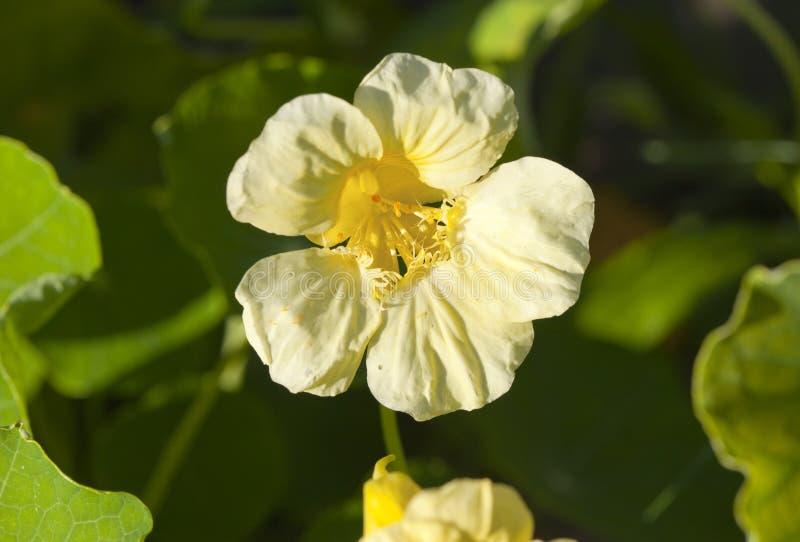 Flores indianas do agrião da chagas imagem de stock royalty free