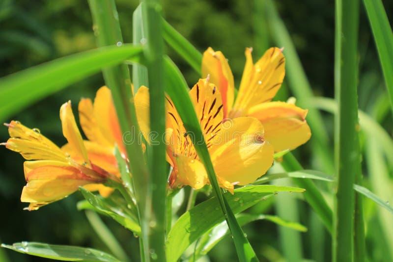 Flores inglesas del jardín del país foto de archivo
