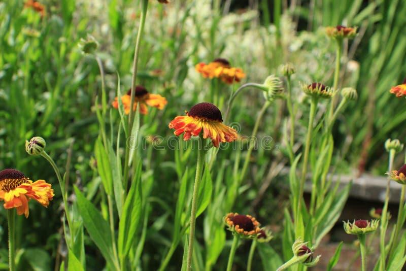 Flores inglesas del jardín del país imagen de archivo libre de regalías