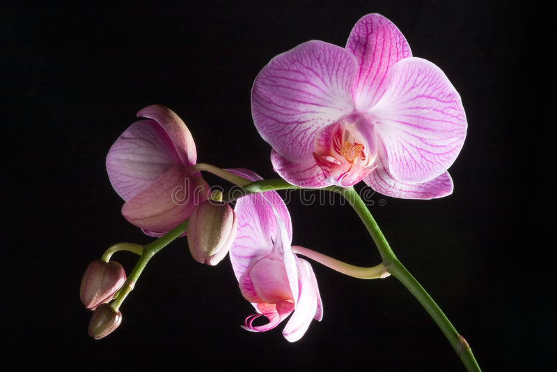 Flores isoladas da orquídea no preto imagem de stock royalty free