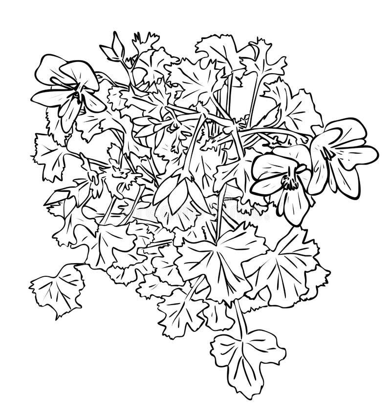 Flores isoladas do houseplant do Pelargonium com as folhas em cores preto e branco, desenho pintado à mão do esboço ilustração do vetor