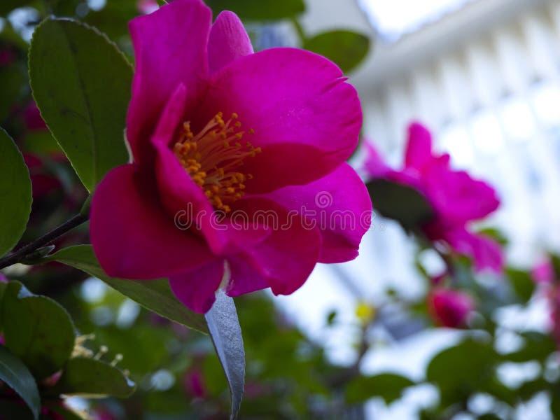 Flores japonesas cor-de-rosa vibrantes bonitas da camélia fotografia de stock royalty free