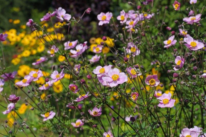 Flores japonesas de la anémona en verano imagenes de archivo