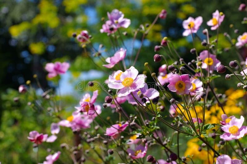 Flores japonesas de la anémona en verano imagen de archivo
