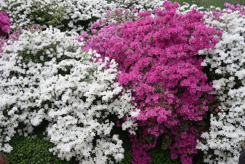 Flores japonesas de la azalea fotografía de archivo libre de regalías