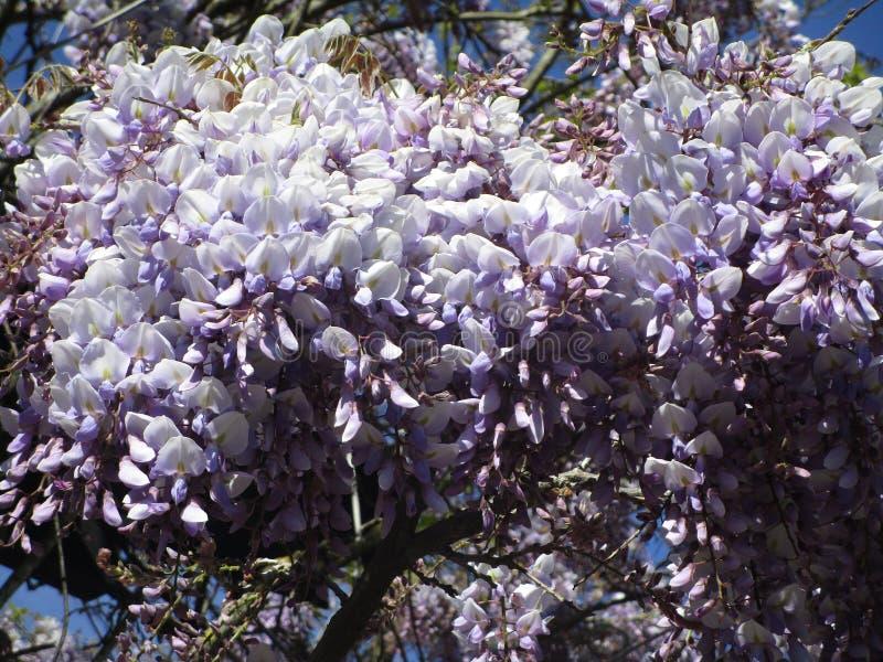 Flores japonesas púrpuras frescas coloridas lindas atractivas brillantes de la glicinia que florecen en mayo imagen de archivo libre de regalías