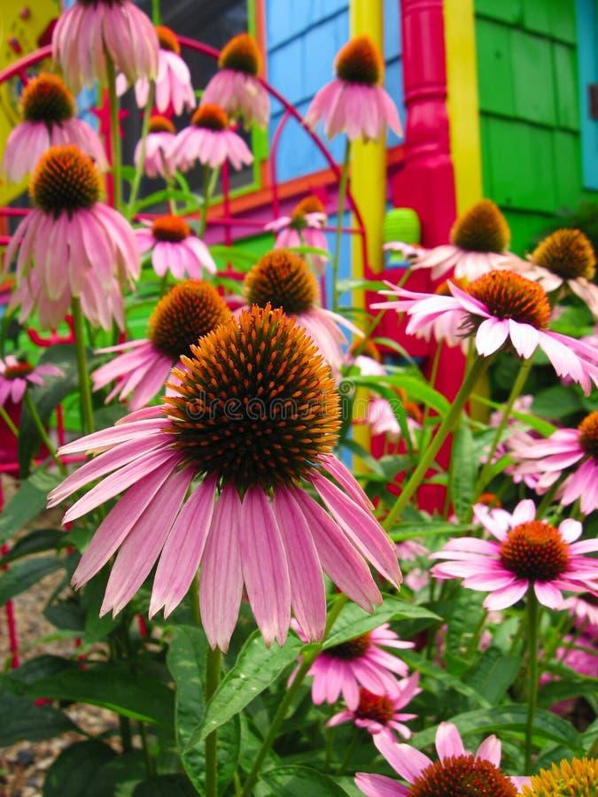 Flores - jardín mágico de Coneflower del arco iris de la fantasía imagenes de archivo