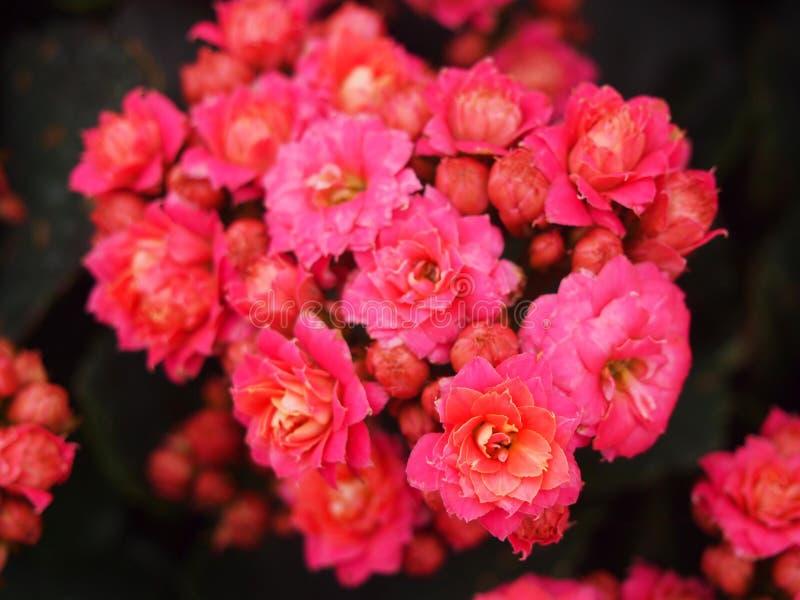Flores katy llameantes fotografía de archivo libre de regalías