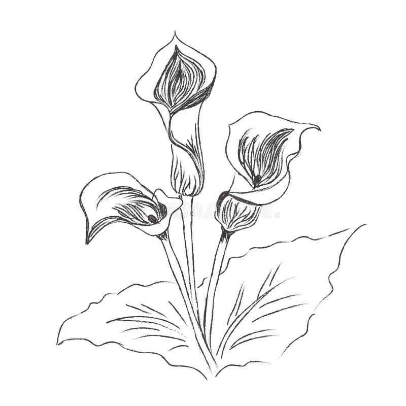Flores, lírio, pintura, esboço, vetor, ilustração ilustração stock