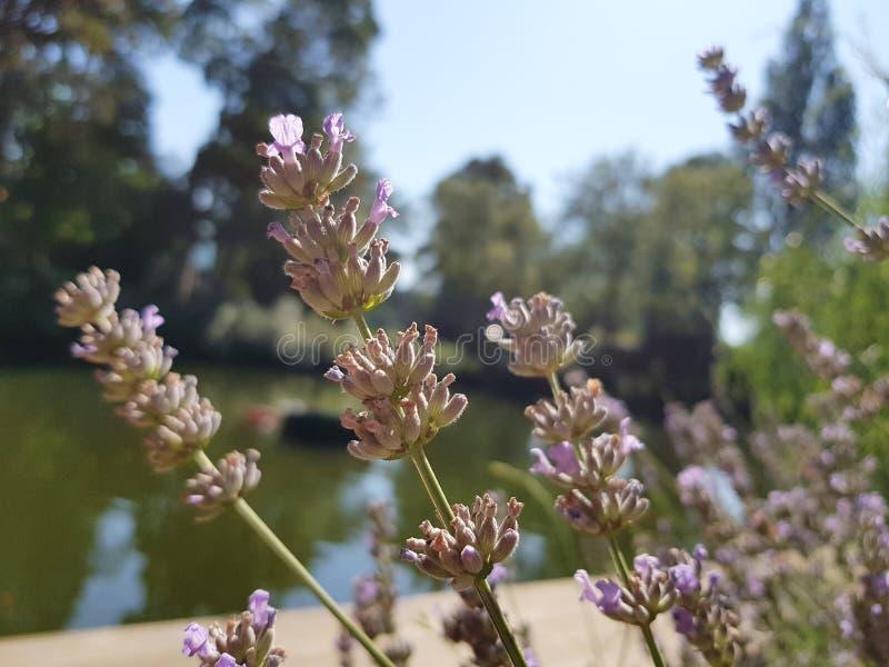Flores lavender fotos de stock royalty free