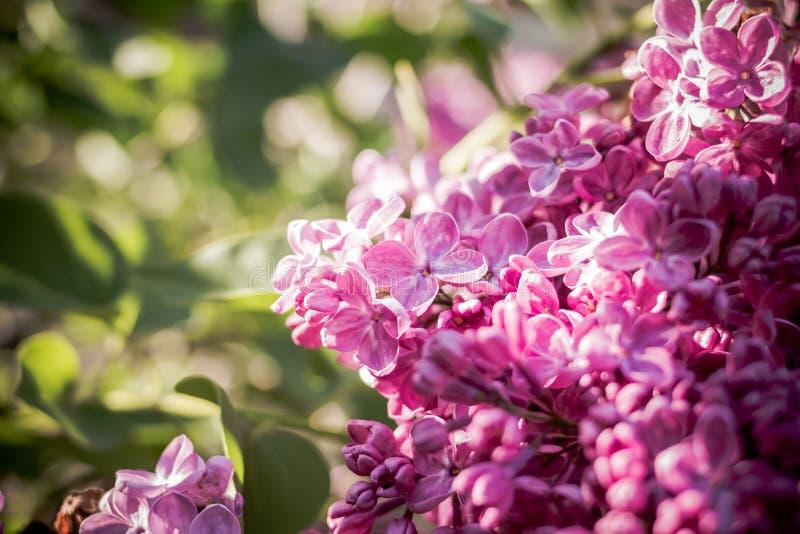 Flores lilás com as folhas verdes no dia de mola ensolarado Flores do Lilac Um grupo bonito do close up lilás Florescência lilac fotografia de stock royalty free