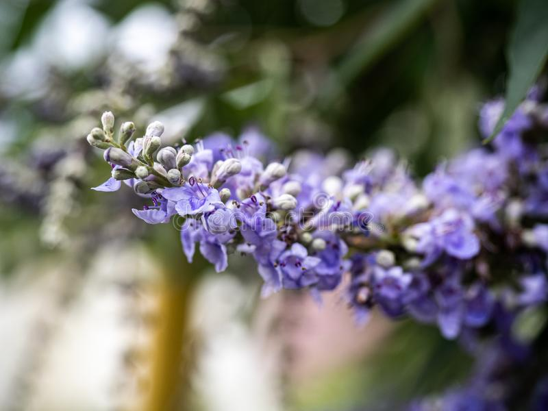 Flores lilás da árvore pura na flor 2 foto de stock royalty free